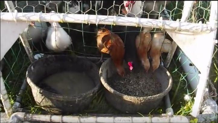 chickseating